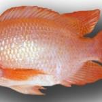 Kỹ thuật chăm sóc cá Diêu Hồng