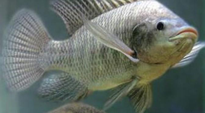Vai trò của cá rô phi trong ao tôm