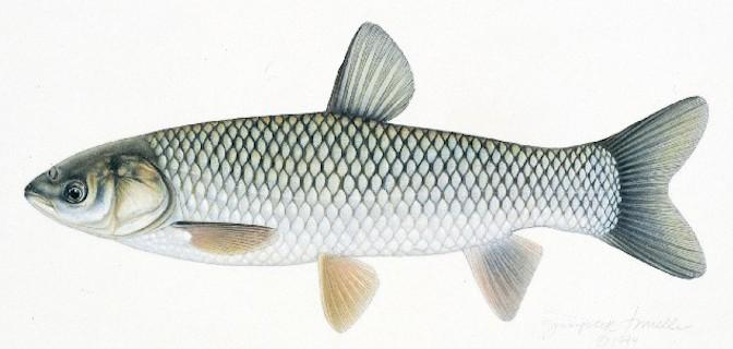 Phòng và trị bệnh đường ruột trên cá trắm cỏ