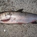 Một số đặc điểm hóa sinh của vi khuẩn gây bệnh đốm đỏ ở cá Trắm cỏ