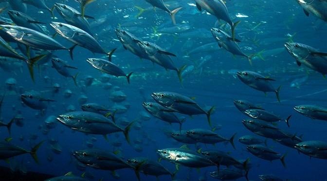 Thử nghiệm nuôi cá ngừ vây xanh – Một hướng đi đúng đắn?