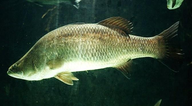 Đặc điểm sinh học và kỹ thuật nuôi cá chẽm