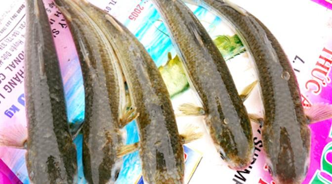 Lợi ích kép từ nuôi cá đối mục và tôm sú