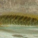 Kỹ thuật nuôi cá lóc trong bể