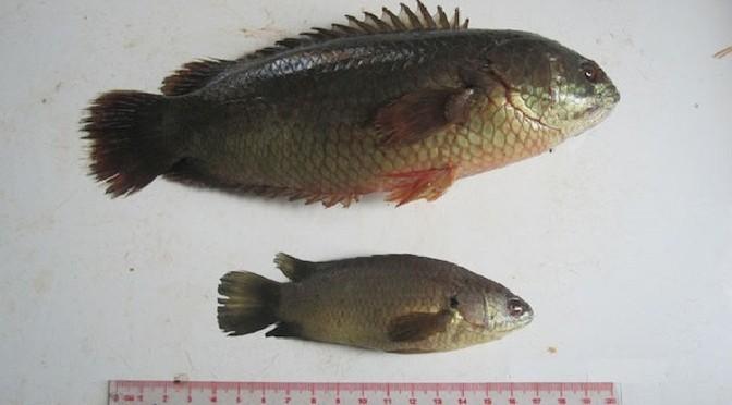 Kết quả nghiên cứu đặc điểm sinh học và di truyền của cá rô đầu vuông và cá rô đồng
