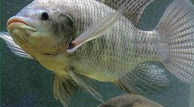 Vắc-xin mới để bảo vệ cá rô phi