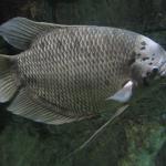 Kỹ thuật nuôi cá tai tượng thương phẩm