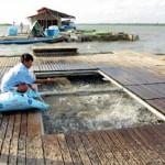 Quản lý sức khỏe cá tra nuôi lồng bè