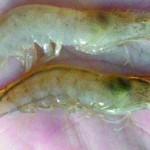 Bệnh đục cơ trên tôm và cách phòng ngừa