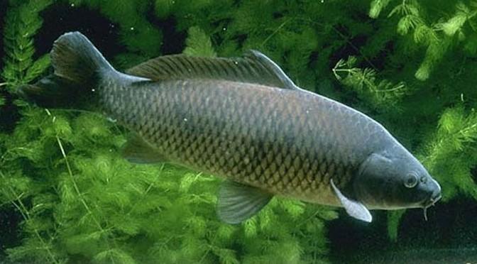 Phòng, trừ bệnh xuất huyết cho cá chép
