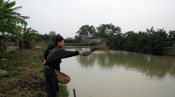 Kỹ thuật cho cá chép đẻ tự nhiên trong ao