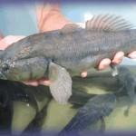 Kỹ thuật nuôi cá bống tượng trong ao