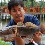 Kỹ thuật nuôi cá bống tượng trong bồn