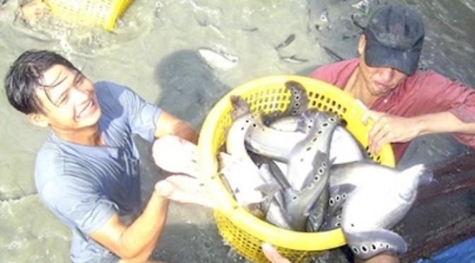 Kỹ thuật nuôi cá thát lát cườm thương phẩm