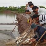 Kỹ thuật nuôi thương phẩm cá chẽm trong ao
