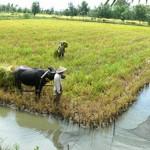 Luân canh tôm – lúa mang lại hiệu quả kinh tế ổn định
