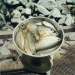 Các kỹ thuật nuôi cá sặc rằn thương phẩm