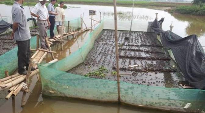 Thử nghiệm mô hình nuôi ếch Thái Lan thương phẩm công nghệ mới
