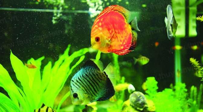 Ngành cá cảnh Việt Nam có nhiều lợi thế để tiến xa
