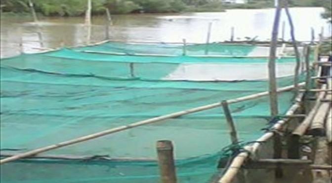 Những vấn đề cần lưu ý khi nuôi cá lóc trong mùng lưới