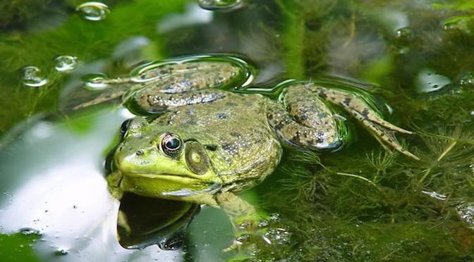 Kỹ thuật nuôi ếch trong ruộng lúa