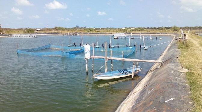 Nuôi tôm mùa nắng: Hiểm họa và giải pháp