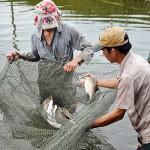 Phòng trị một số bệnh thường gặp trên cá chẽm nuôi thâm canh