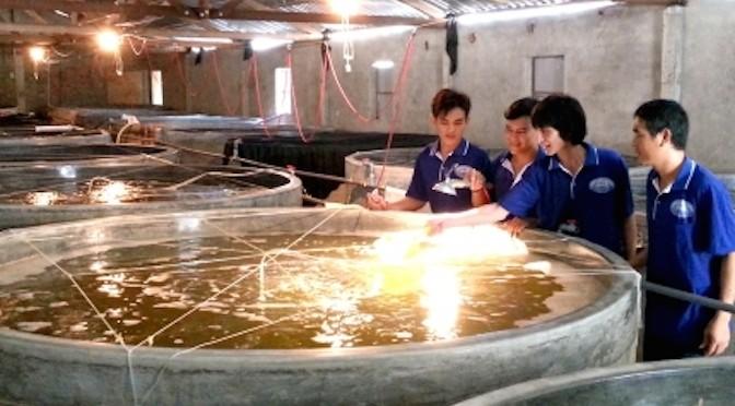 Sản xuất giống tôm thẻ chân trắng tại Cà Mau – cơ hội tốt cho người nuôi tôm