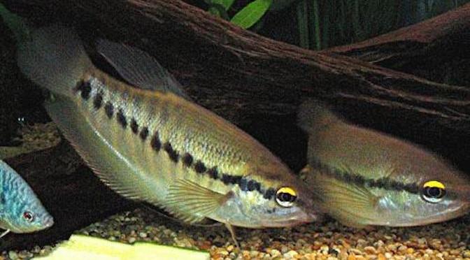 Kỹ thuật sản xuất giống cá sặc rằn