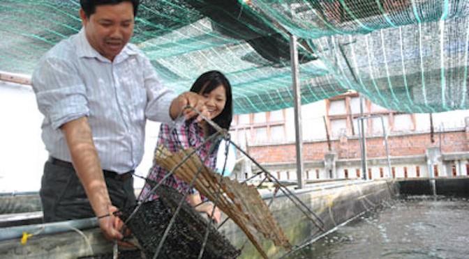 Triển khai sản xuất giống và nuôi thương phẩm sò điệp quạt