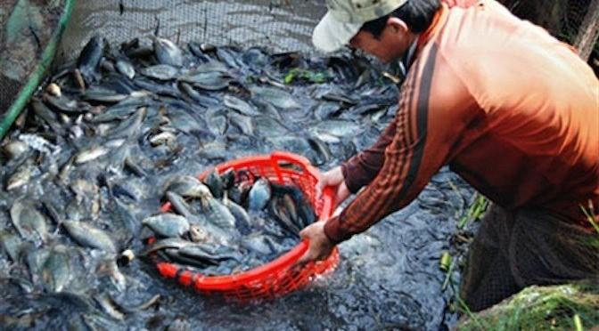 An Giang: Hiệu quả từ mô hình nuôi cá sặc rằn
