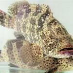 Năm Căn: triển vọng từ mô hình nuôi cá mú trân châu