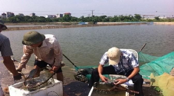 Sản xuất thành công giống cá rô phi đơn tính đực bằng phương pháp lai xa