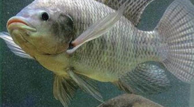 Thanh Hoá: phát triển nuôi cá rô phi theo hướng xuất khẩu