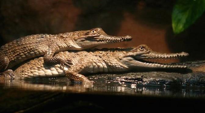 Cá sấu làm chuyện ấy như thế nào?