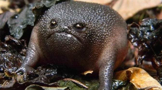 """Loài ếch """"quái vật"""" có vẻ mặt và thân hình cực kỳ đáng sợ"""