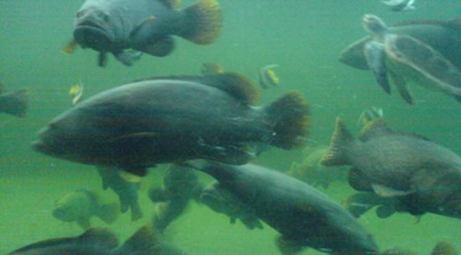 Kỹ thuật nuôi cá mú