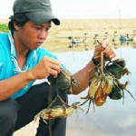 Nghệ An: Mô hình nuôi cua biển thương phẩm đạt hiệu quả cao
