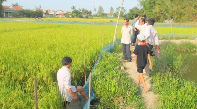 Nuôi cua trong ruộng lúa