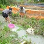 An Giang: Hiệu quả từ mô hình sản xuất lươn giống