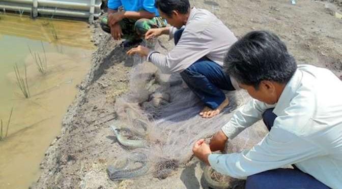 Vì sao cá chình được nhiều người miền Tây thích nuôi?