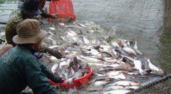 Phê duyệt quy hoạch nuôi, chế biến cá tra vùng đồng bằng sông Cửu Long đến năm 2020