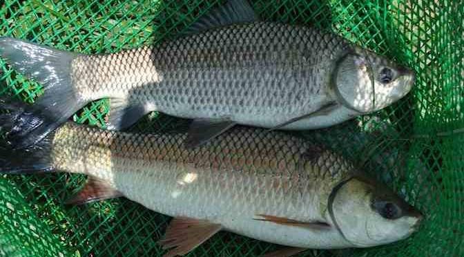 Ấn Độ: Ứng dụng biến đổi gen trong sản xuất cá kháng bệnh