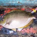 Bền vững nhờ nuôi cá dìa kết hợp tôm sú