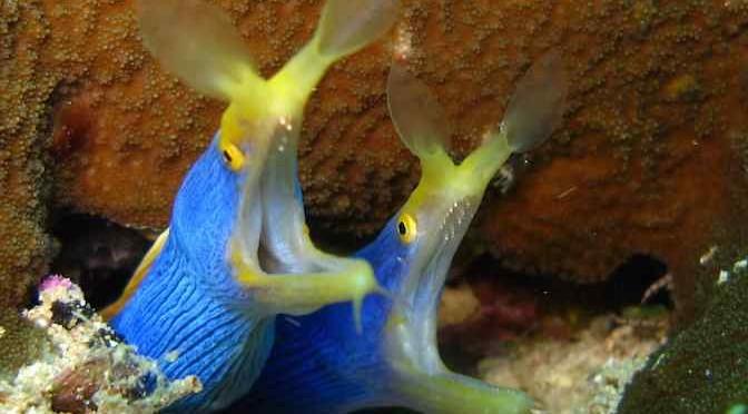 Cá chình ruy băng: Loài rồng của biển cả