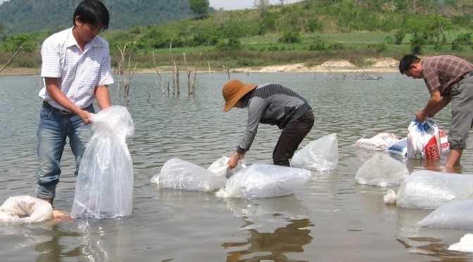 Cách thả cá giống đạt tỷ lệ sống cao