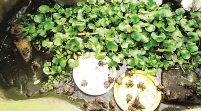 Hiệu quả từ việc nuôi ếch trong màng lưới