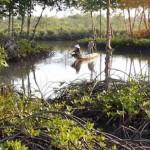 Hiệu quả cao từ nuôi tôm dưới tán rừng đước