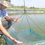 Luân canh muối – tôm: Hiểu để nuôi mới đạt hiệu quả