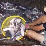 Một số giải pháp hạn chế sự lây lan bệnh gan thận mủ trên cá tra